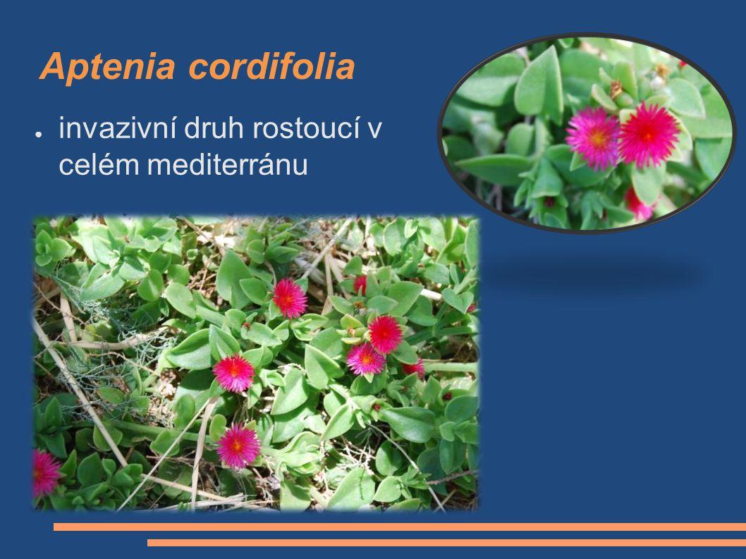 Aptenia cordifolia ● invazivní druh rostoucí v celém mediterránu