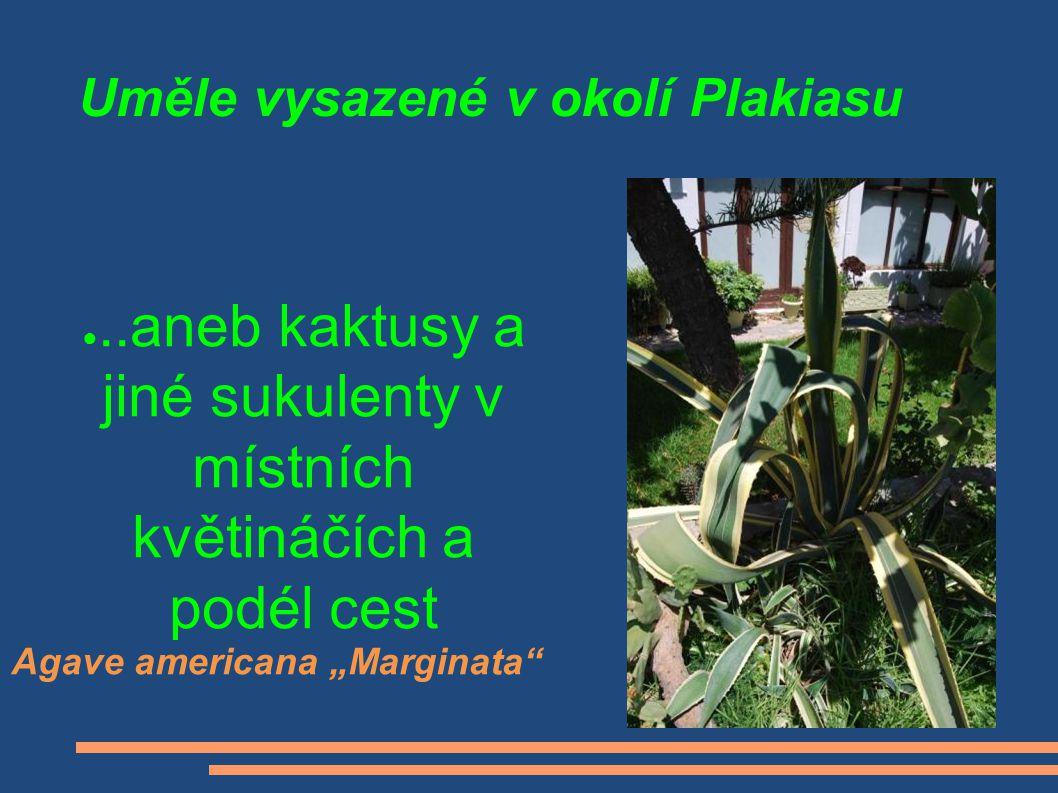 """Uměle vysazené v okolí Plakiasu ●..aneb kaktusy a jiné sukulenty v místních květináčích a podél cest Agave americana """"Marginata"""""""