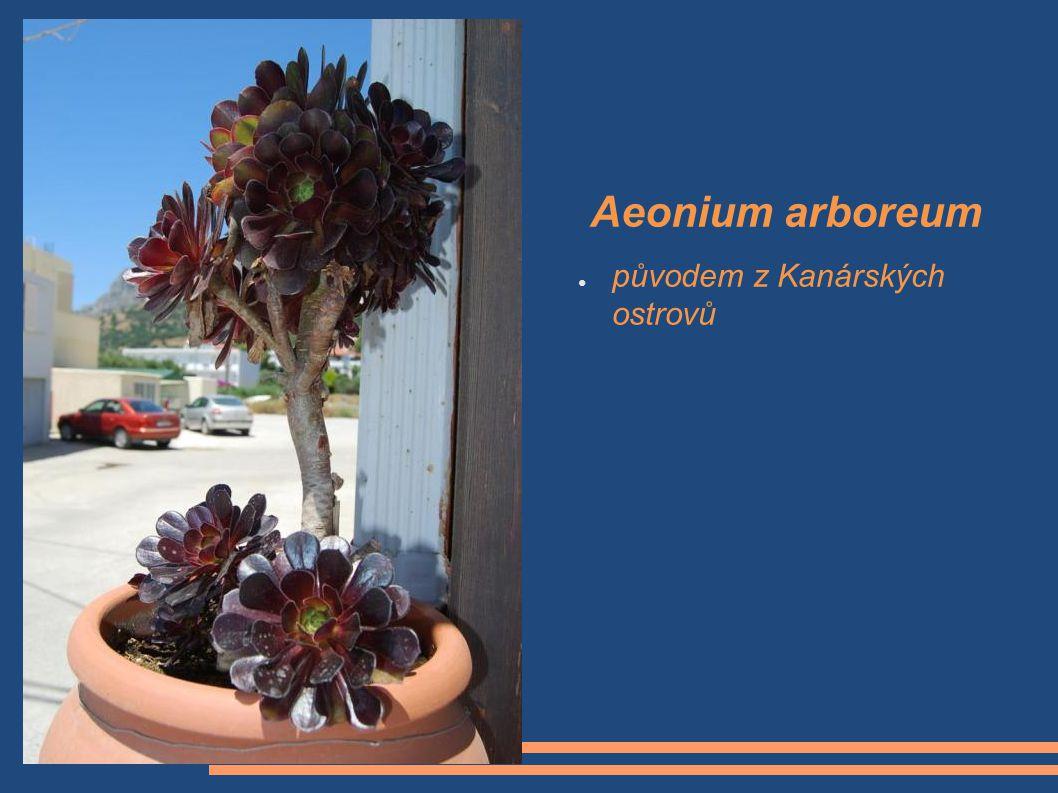 Aeonium arboreum ● původem z Kanárských ostrovů