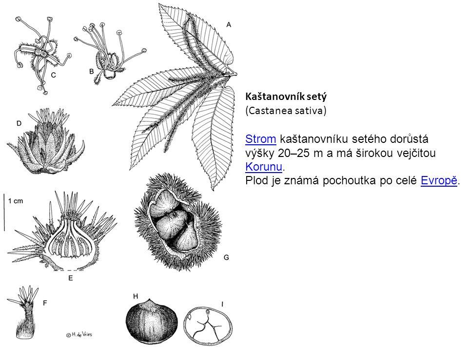 Kaštanovník setý (Castanea sativa) StromStrom kaštanovníku setého dorůstá výšky 20–25 m a má širokou vejčitou KorunuKorunu.