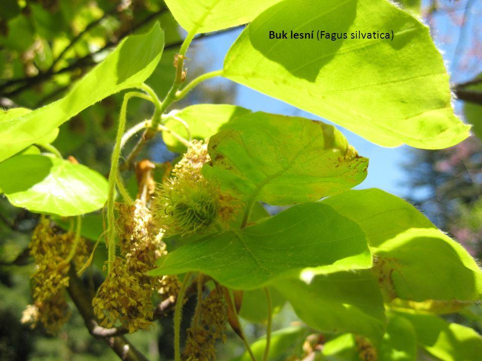 Buk lesní (Fagus silvatica)