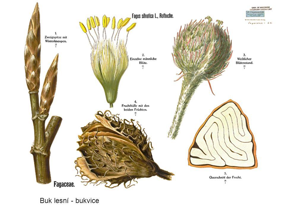 Buk lesní - bukvice