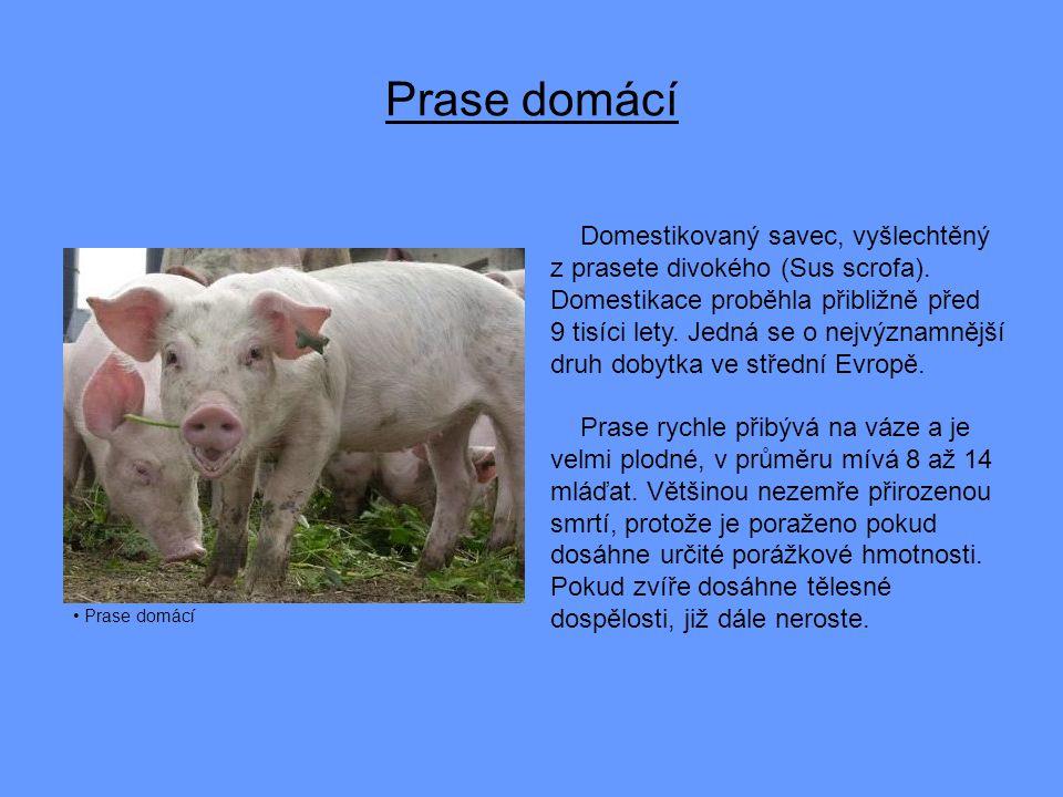 Prase domácí Domestikovaný savec, vyšlechtěný z prasete divokého (Sus scrofa).