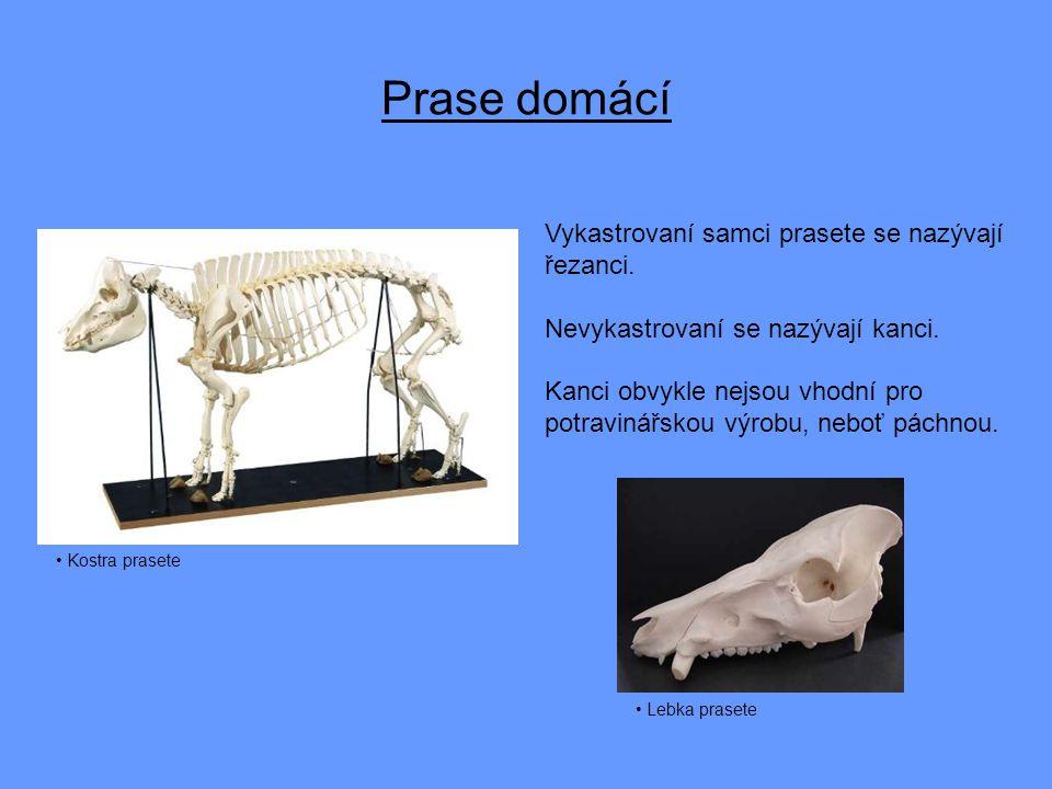Prase domácí Vykastrovaní samci prasete se nazývají řezanci.