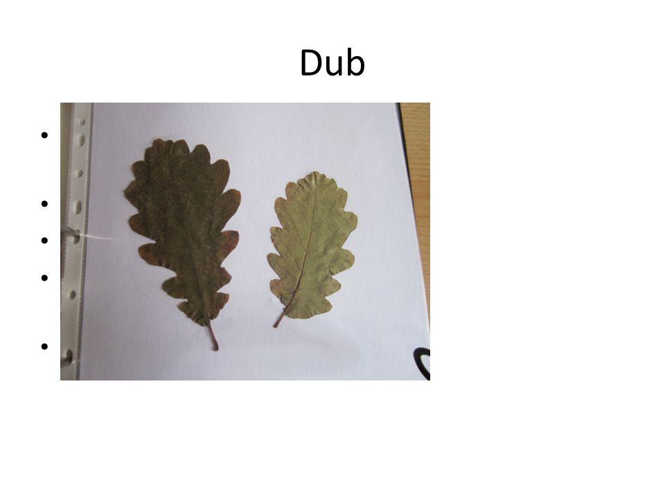Dub Jednoduché laločnaté listy Květy- jehnědy Plod-nažka(žalud) Nejčastější- dub letní, zimní Tvrdé dřevo