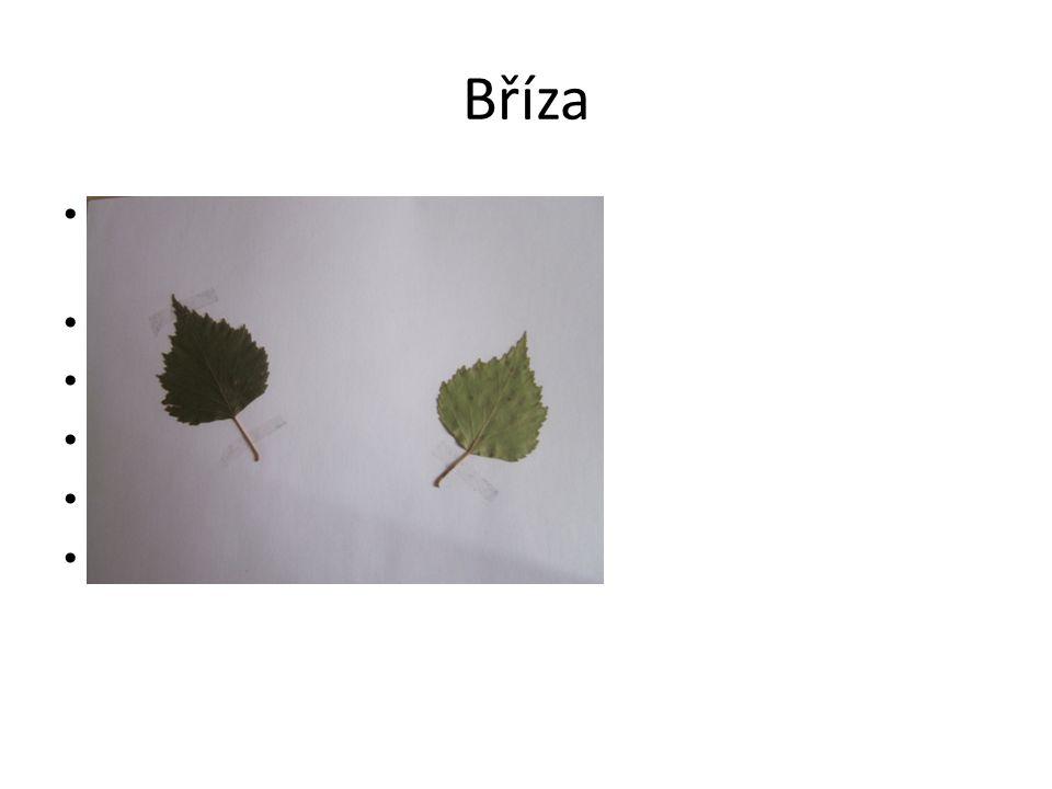 Bříza Jednoduché dvojitě pilovité listy(léčivé) Kůra- bělavá Květenství- jehnědy Plody- nažky Nejčastější- bělokorá Rychle roste, dobře hoří