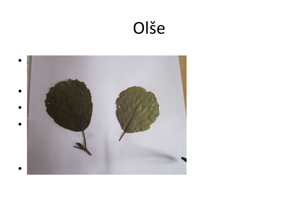 Olše Jednoduché vejčité listy(vykrojená špička) Květy- jehnědy Nejčastější- olše lepkavá Dřevo- ve vodě trvanlivé, výroba nábytku Plody- šištice