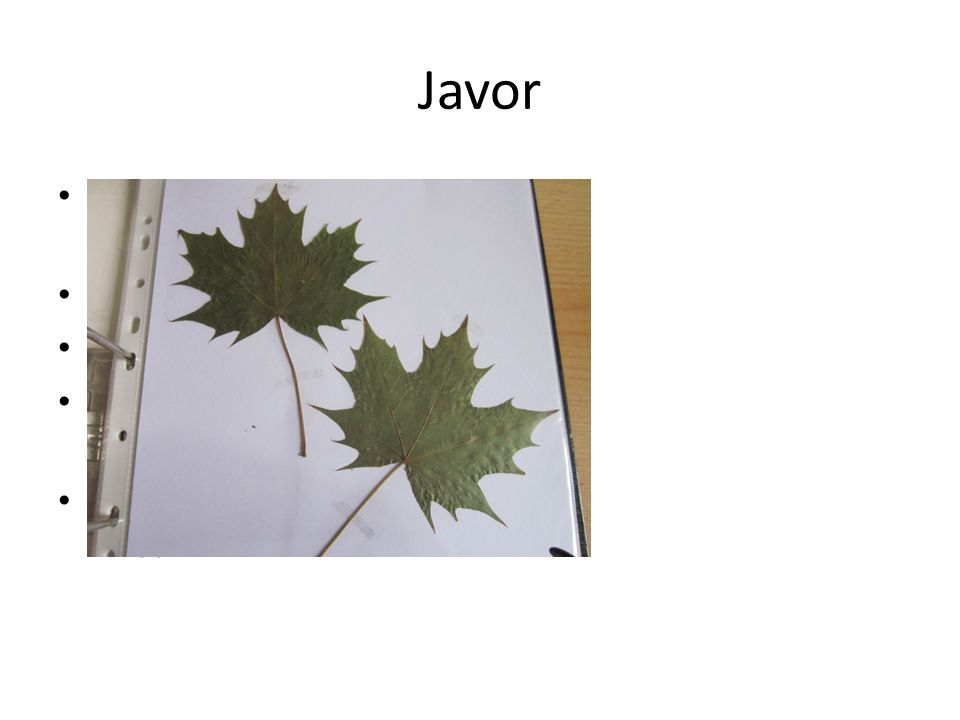 Jírovec maďal Složené dlanité, vstřícné listy Květy- dlouhé laty Plod- tobolka Semeno- hnědé kaštany Název- jírovec maďal