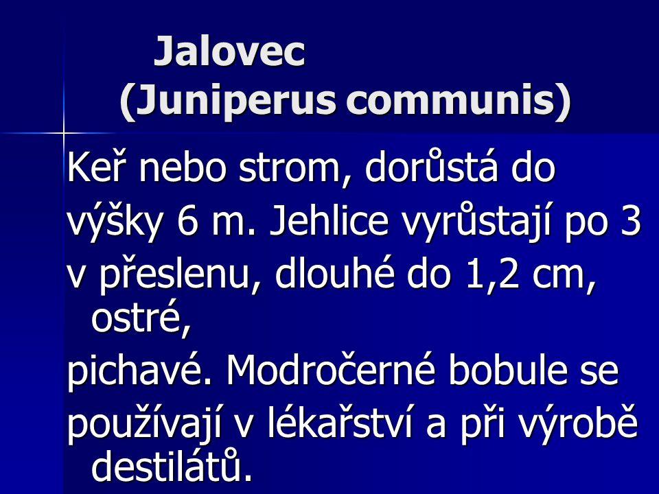 Jalovec (Juniperus communis) Jalovec (Juniperus communis) Keř nebo strom, dorůstá do výšky 6 m. Jehlice vyrůstají po 3 v přeslenu, dlouhé do 1,2 cm, o