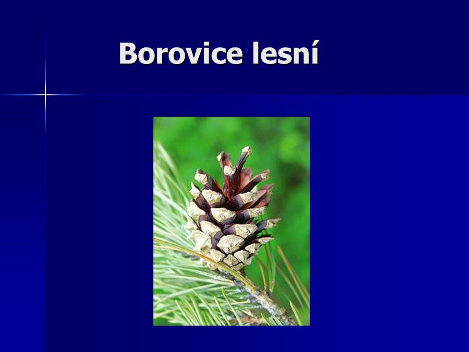 Borovice lesní (Pinus sylvestris) Je známa jako borovice sosna.