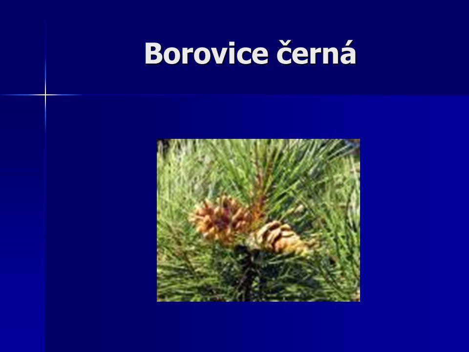 Borovice černá (Pinus nigra) Má tmavější jehlice, vyrůstají po Dvou ve svazečcích, jsou dlouhé do 15 cm.
