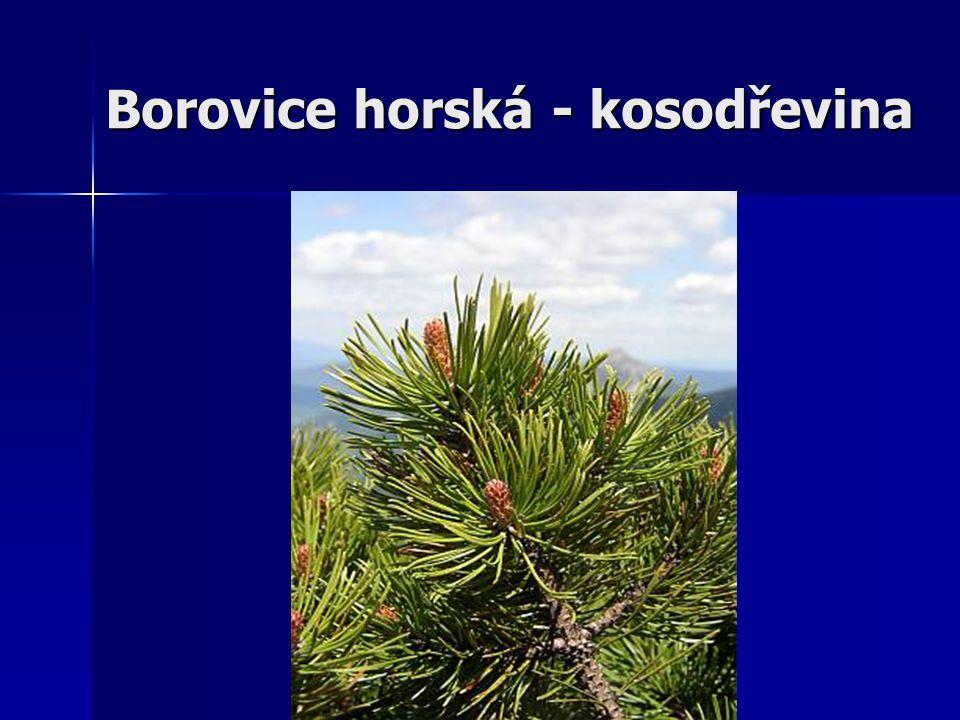 Borovice horská (Pinus mugo) Je známá jako kosodřevina.