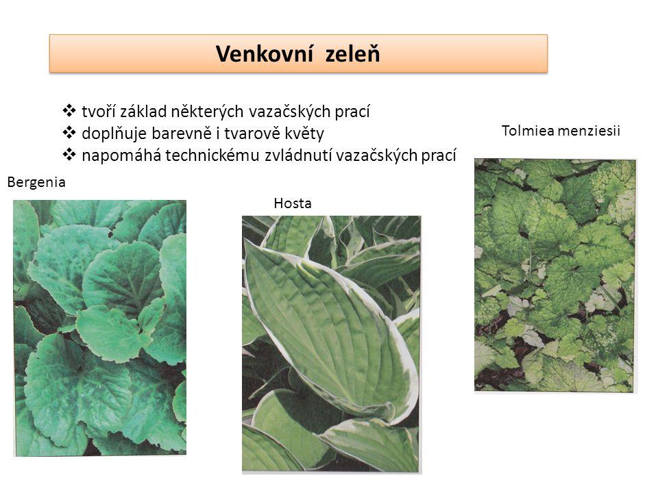 Venkovní zeleň  tvoří základ některých vazačských prací  doplňuje barevně i tvarově květy  napomáhá technickému zvládnutí vazačských prací Bergenia