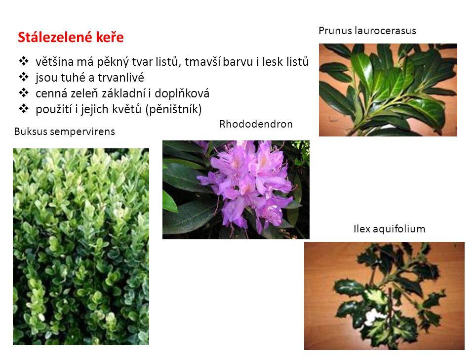  většina má pěkný tvar listů, tmavší barvu i lesk listů  jsou tuhé a trvanlivé  cenná zeleň základní i doplňková  použití i jejich květů (pěništní