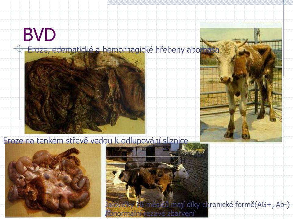 BVD Eroze, edematické a hemorhagické hřebeny abomasa Eroze na tenkém střevě vedou k odlupování sliznice Jalovičky 18 měsíců mají díky chronické formě(