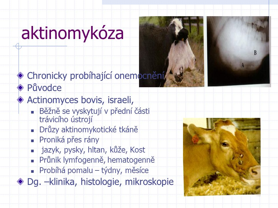 aktinomykóza Chronicky probíhající onemocnění Původce Actinomyces bovis, israeli, Běžně se vyskytují v přední části trávicího ústrojí Drůzy aktinomyko