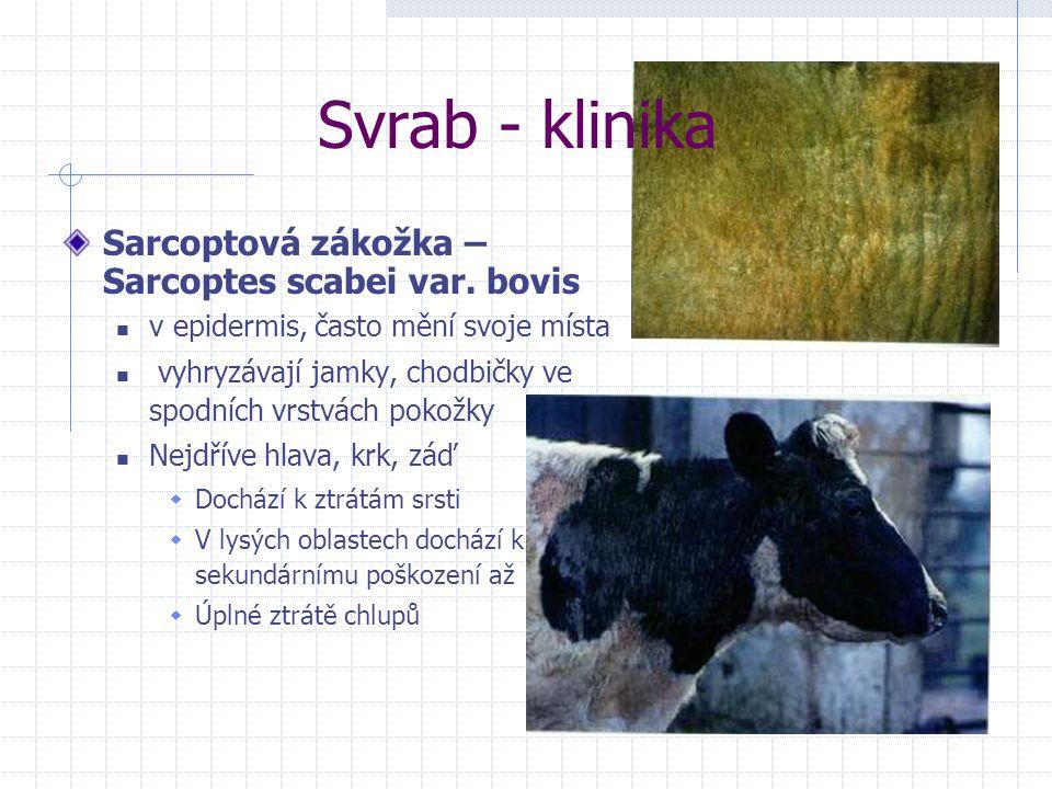 Svrab - klinika Sarcoptová zákožka – Sarcoptes scabei var. bovis v epidermis, často mění svoje místa vyhryzávají jamky, chodbičky ve spodních vrstvách