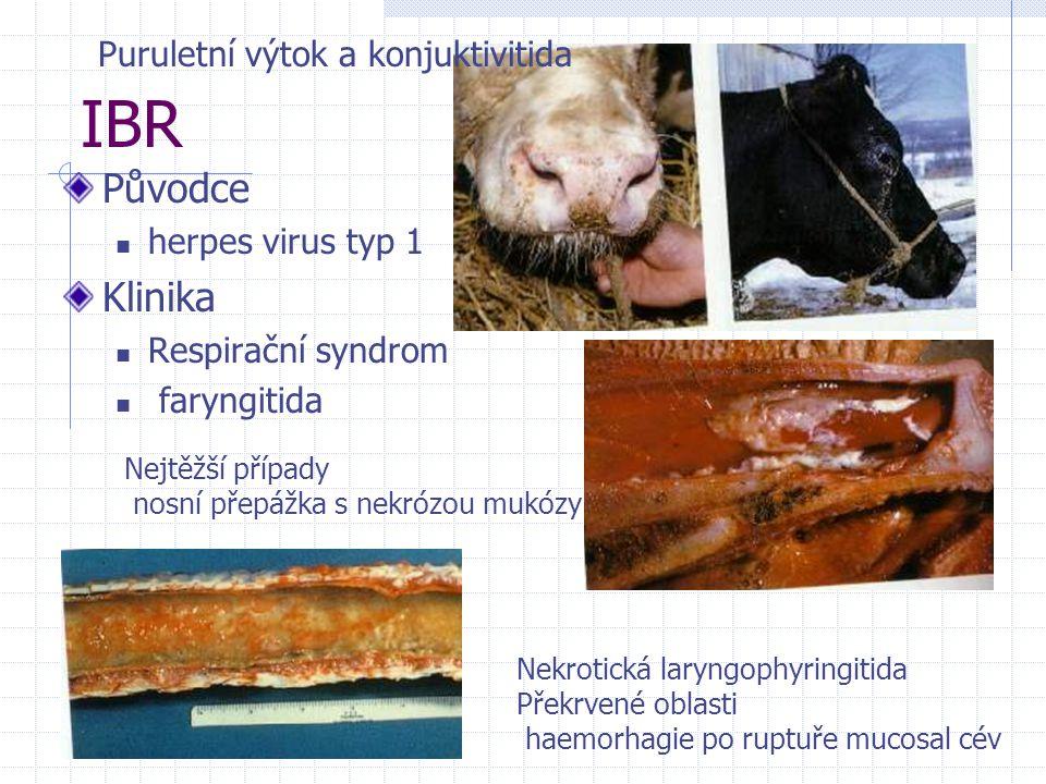 IBR Původce herpes virus typ 1 Klinika Respirační syndrom faryngitida Puruletní výtok a konjuktivitida Nekrotická laryngophyringitida Překrvené oblast