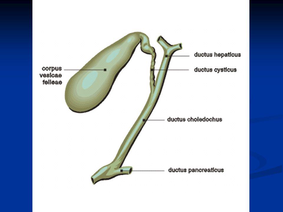 Tvorba žluče - v játrech 600-1000 ml denně, hl.přes den - obsahuje vodu, elektrolyty, žluč.