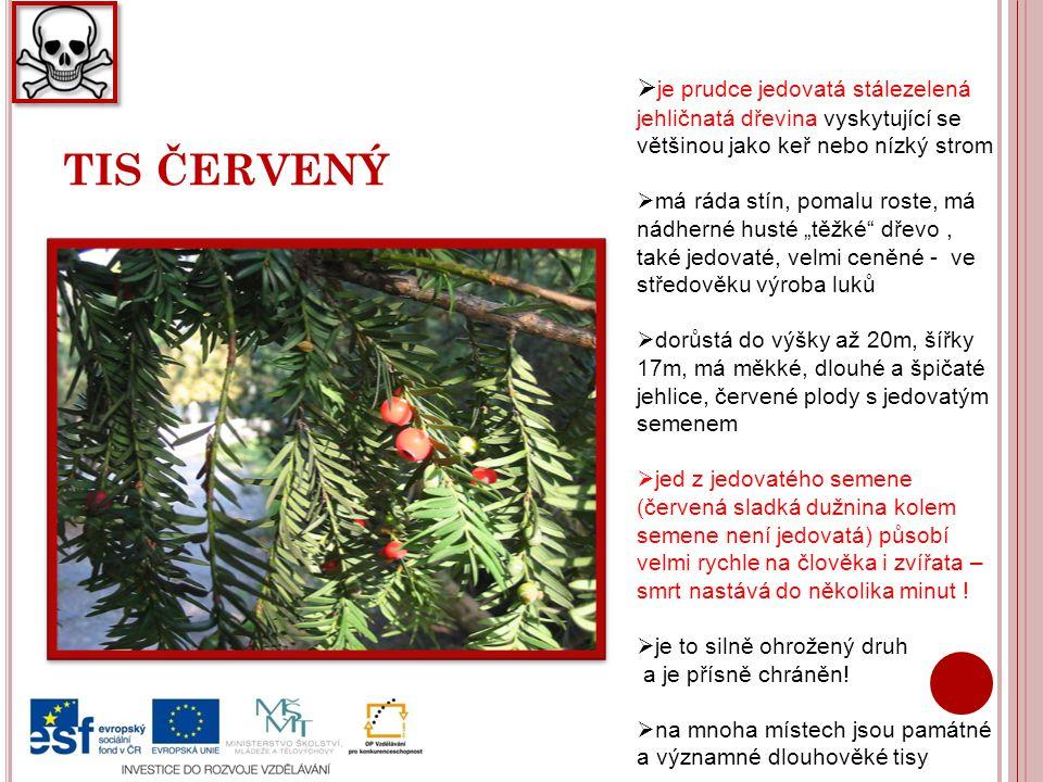 """TIS ČERVENÝ  je prudce jedovatá stálezelená jehličnatá dřevina vyskytující se většinou jako keř nebo nízký strom  má ráda stín, pomalu roste, má nádherné husté """"těžké dřevo, také jedovaté, velmi ceněné - ve středověku výroba luků  dorůstá do výšky až 20m, šířky 17m, má měkké, dlouhé a špičaté jehlice, červené plody s jedovatým semenem  jed z jedovatého semene (červená sladká dužnina kolem semene není jedovatá) působí velmi rychle na člověka i zvířata – smrt nastává do několika minut ."""