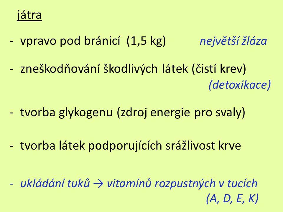 játra -vpravo pod bránicí (1,5 kg) největší žláza -zneškodňování škodlivých látek (čistí krev) (detoxikace) -tvorba glykogenu (zdroj energie pro svaly) -tvorba látek podporujících srážlivost krve -ukládání tuků → vitamínů rozpustných v tucích (A, D, E, K)