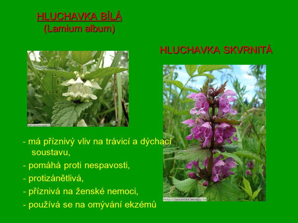 HLUCHAVKA BÍLÁ (Lamium album) HLUCHAVKA SKVRNITÁ - má příznivý vliv na trávicí a dýchací soustavu, - pomáhá proti nespavosti, - protizánětlivá, - příznivá na ženské nemoci, - používá se na omývání ekzémů
