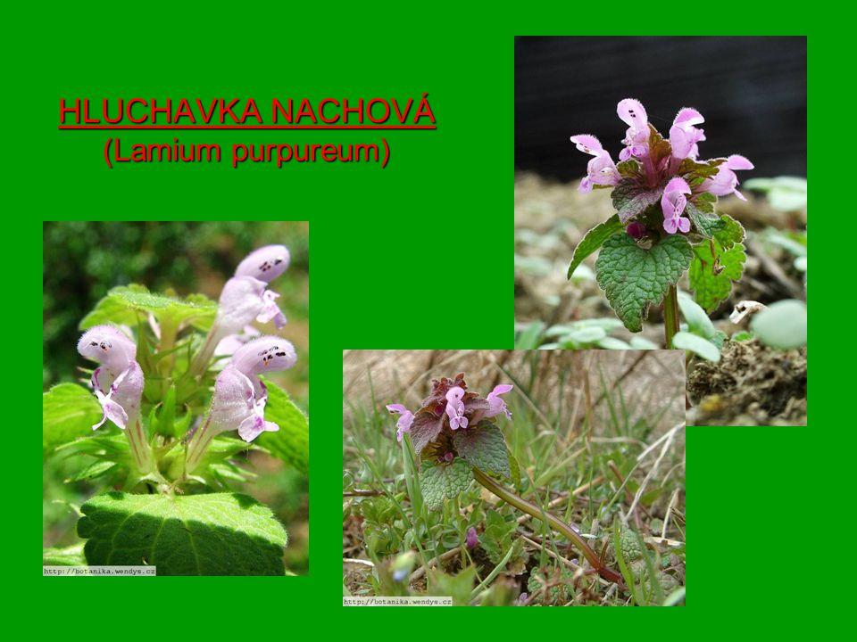 HLUCHAVKA NACHOVÁ (Lamium purpureum)