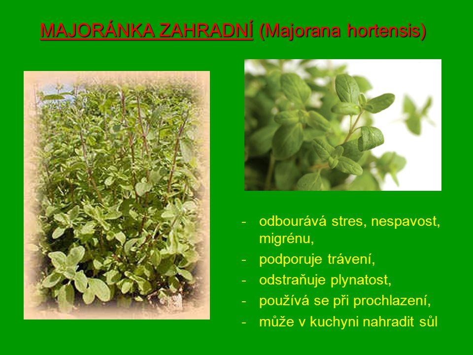 MAJORÁNKA ZAHRADNÍ (Majorana hortensis) -odbourává stres, nespavost, migrénu, -podporuje trávení, -odstraňuje plynatost, -používá se při prochlazení, -může v kuchyni nahradit sůl