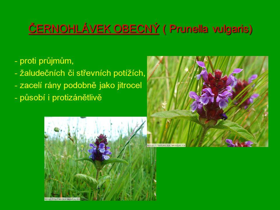 ČERNOHLÁVEK OBECNÝ ( Prunella vulgaris) - proti průjmům, - žaludečních či střevních potížích, - zacelí rány podobně jako jitrocel - působí i protizáně
