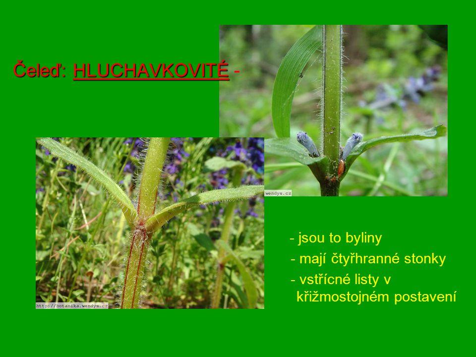 Čeleď: HLUCHAVKOVITÉ Čeleď: HLUCHAVKOVITÉ - - jsou to byliny - mají čtyřhranné stonky - vstřícné listy v křižmostojném postavení