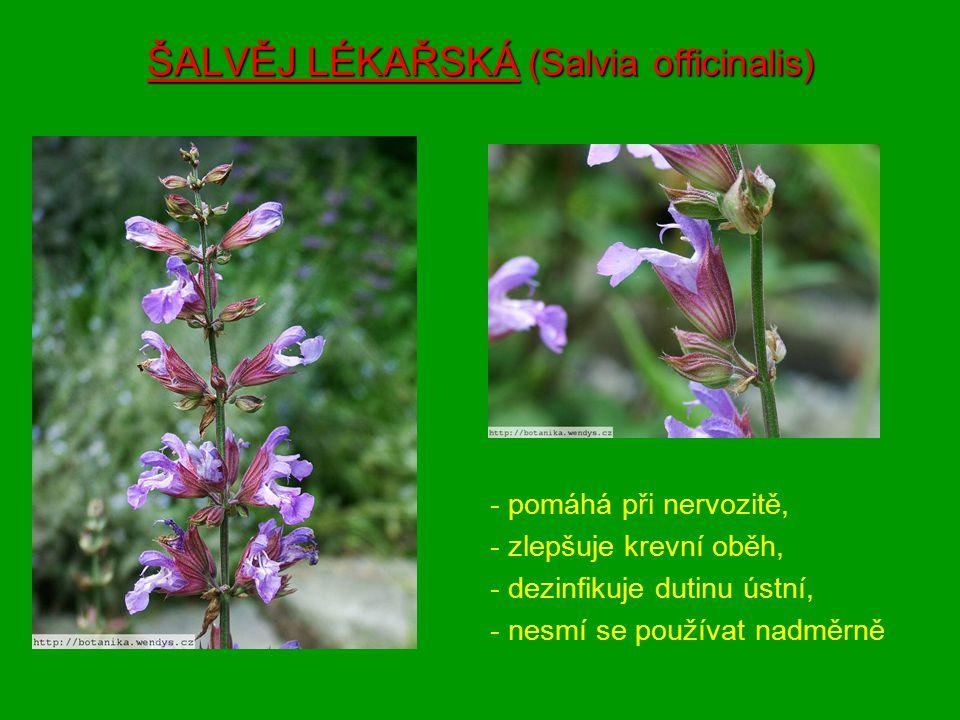 ZBĚHOVEC PLAZIVÝ (Ajuga reptans ) ZBĚHOVEC LESNÍ (Ajuga genevensis) -používá se při astmatu, bronchitidy, kašle a nachlazení, -podporuje látkovou výměnu