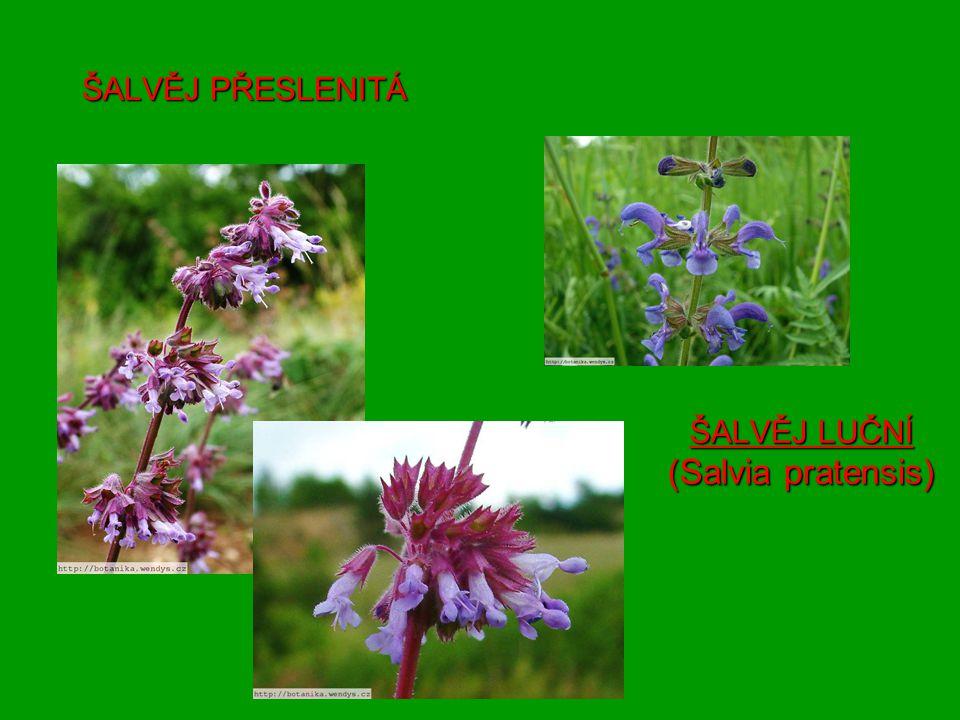 ŠALVĚJ LUČNÍ (Salvia pratensis) ŠALVĚJ PŘESLENITÁ