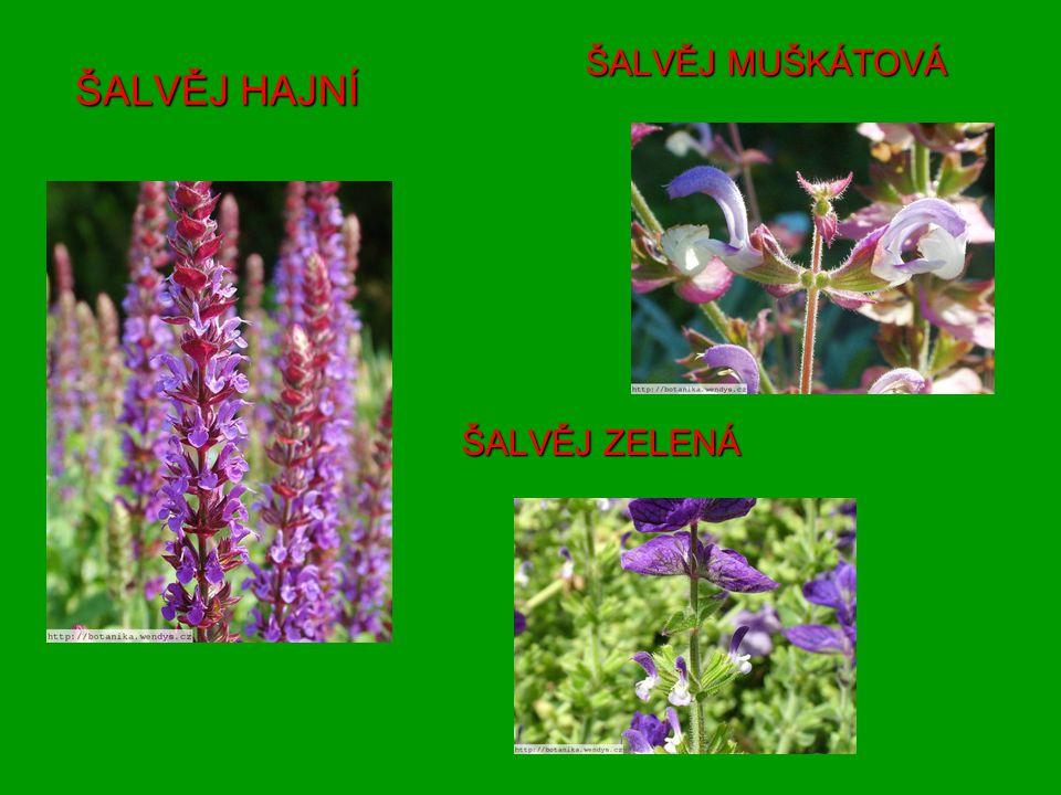 7) Kde se nejčastěji používá majoránka?8) Jak se nazývá bylina, která zacelí rány podobně jako jitrocel.