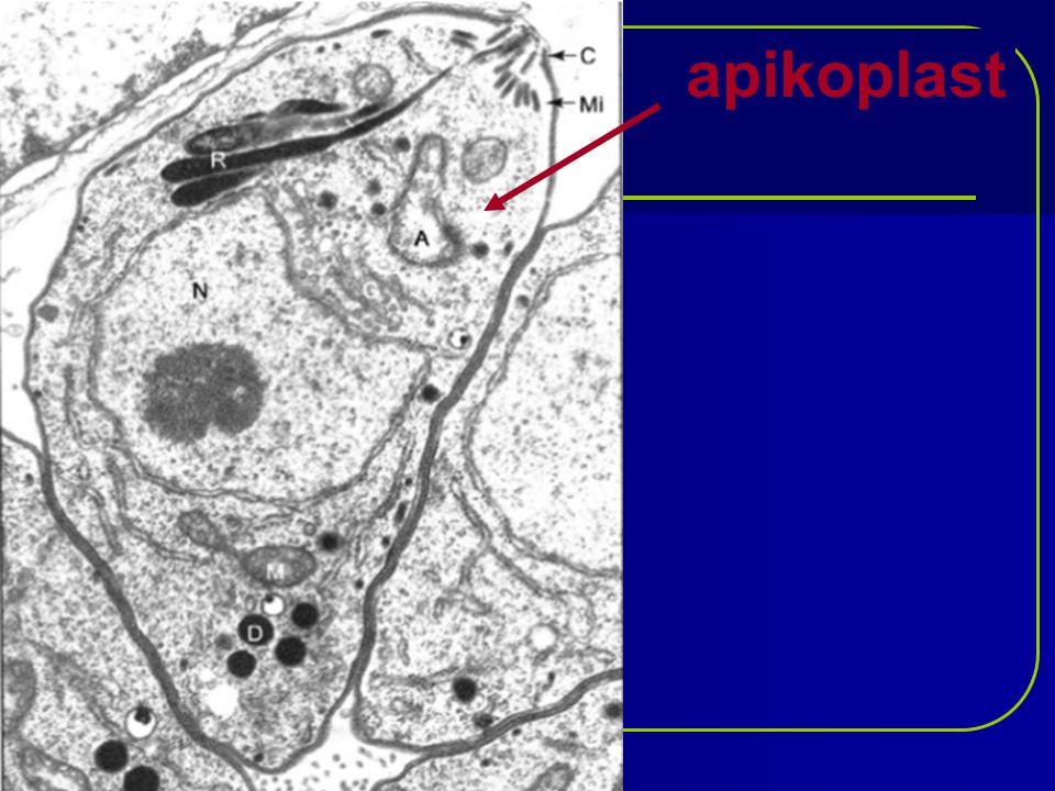 hromadinky (Gregarinidea) jednohostitelští paraziti tělní dutiny, střeva nebo tkáně bezobratlých 1 – epimerit (k uchycení ve střevech 2 – protomerit 3 - deutomerit tělo tvoří 1 buňka rozdělená na 3 části Zástupci: hromadinka žížalí, hromadinka švábí