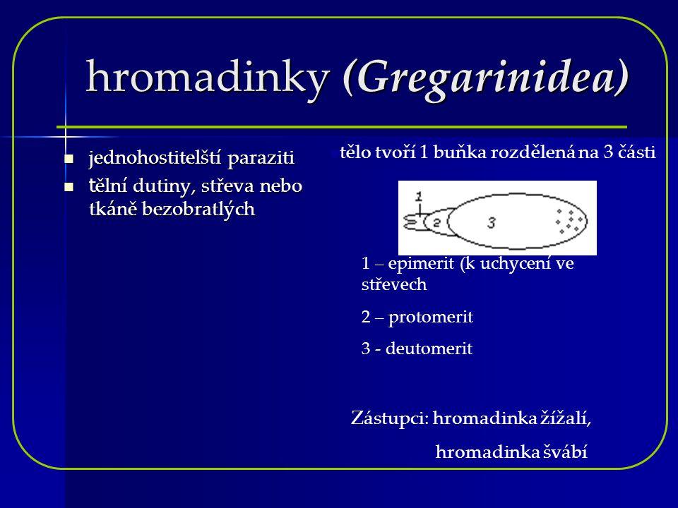 hromadinky (Gregarinidea) jednohostitelští paraziti tělní dutiny, střeva nebo tkáně bezobratlých 1 – epimerit (k uchycení ve střevech 2 – protomerit 3