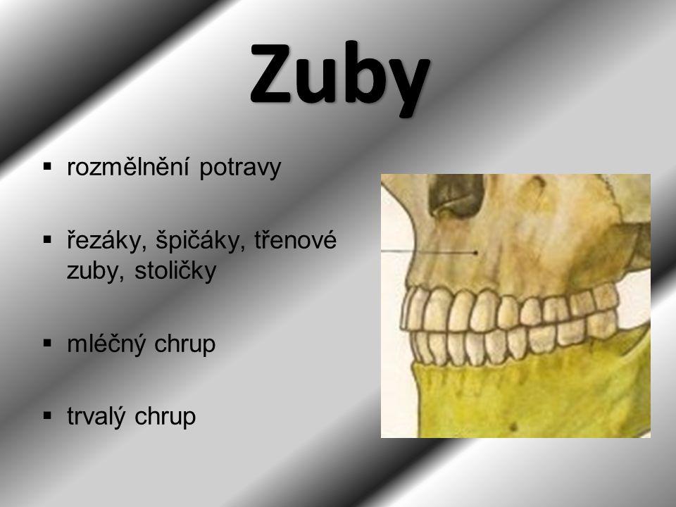  rozmělnění potravy  řezáky, špičáky, třenové zuby, stoličky  mléčný chrup  trvalý chrup