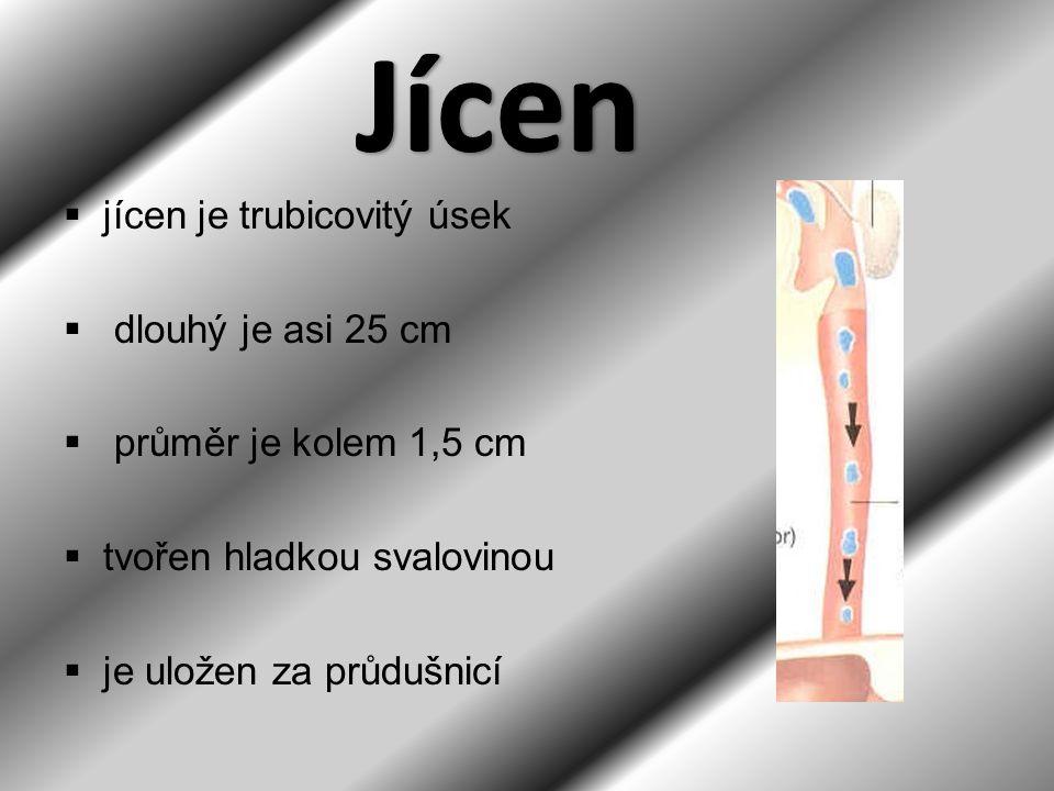  jícen je trubicovitý úsek  dlouhý je asi 25 cm  průměr je kolem 1,5 cm  tvořen hladkou svalovinou  je uložen za průdušnicí