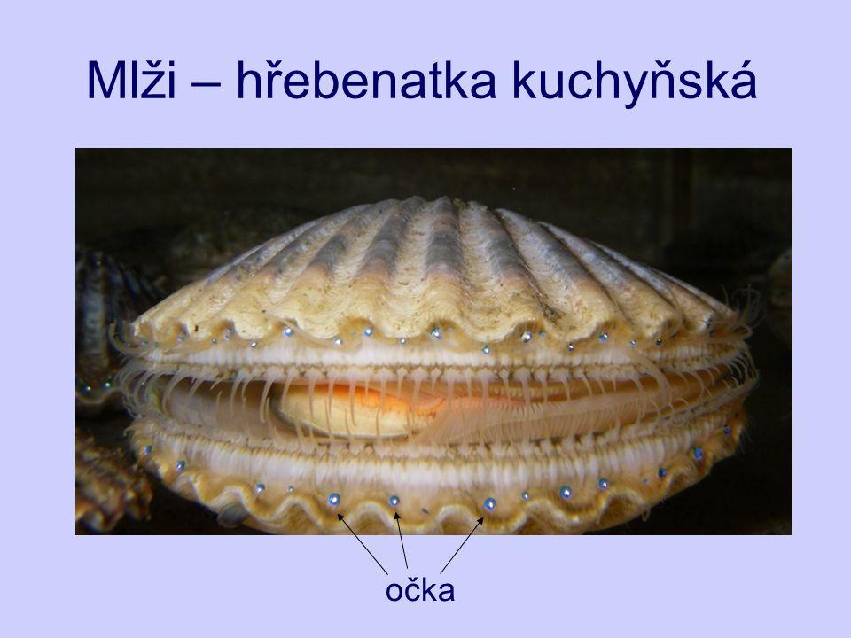 Mlži – hřebenatka kuchyňská velmi hojný a jedlý druh Atlantské pobřeží od Norska do Portugalska (hloubka 3-120 m) Populace jsou decimovány nadměrným lovem, který je nyní regulován.