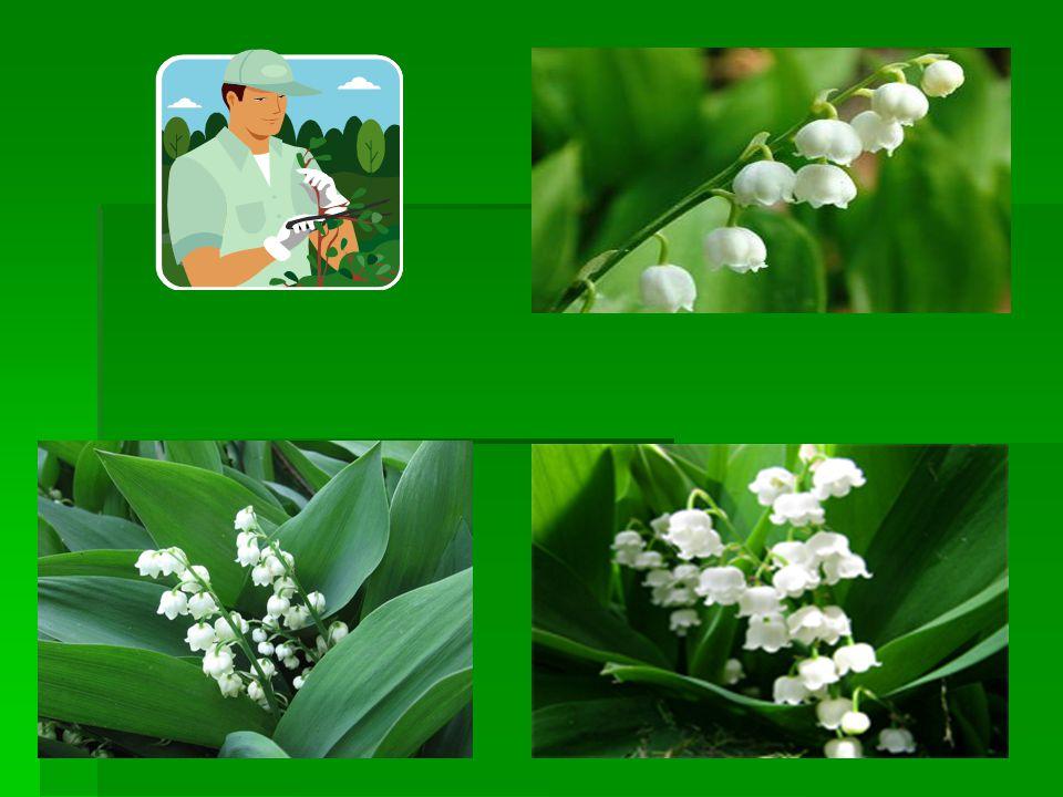 OBSAH PREZENTACE: 1.Název,zařazení 2.popis,využití,ekologie, UPOZORNĚNÍ 3.Jedovatost,pro zahradkáře,popis Konvalinky vonné 4.obrázky