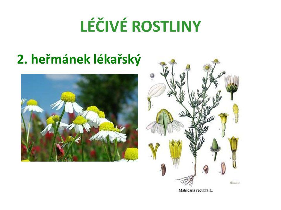 LÉČIVÉ ROSTLINY Heřmánek lékařský (pravý) je léčivá rostlina, která velmi příjemně voní.