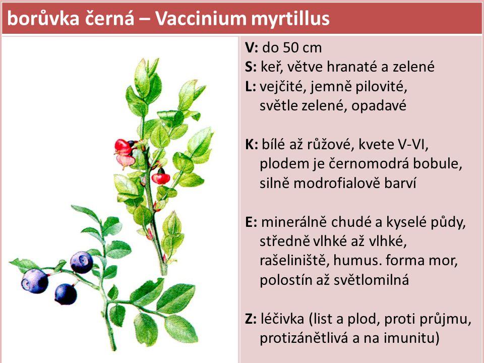 borůvka černá – Vaccinium myrtillus V: do 50 cm S: keř, větve hranaté a zelené L: vejčité, jemně pilovité, světle zelené, opadavé K: bílé až růžové, kvete V-VI, plodem je černomodrá bobule, silně modrofialově barví E: minerálně chudé a kyselé půdy, středně vlhké až vlhké, rašeliniště, humus.