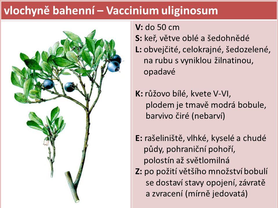 vlochyně bahenní – Vaccinium uliginosum V: do 50 cm S: keř, větve oblé a šedohnědé L: obvejčité, celokrajné, šedozelené, na rubu s vyniklou žilnatinou, opadavé K: růžovo bílé, kvete V-VI, plodem je tmavě modrá bobule, barvivo čiré (nebarví) E: rašeliniště, vlhké, kyselé a chudé půdy, pohraniční pohoří, polostín až světlomilná Z: po požití většího množství bobulí se dostaví stavy opojení, závratě a zvracení (mírně jedovatá)