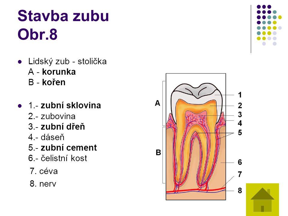 Stavba zubu Obr.8 Lidský zub - stolička A - korunka B - kořen 1.- zubní sklovina 2.- zubovina 3.- zubní dřeň 4.- dáseň 5.- zubní cement 6.- čelistní k