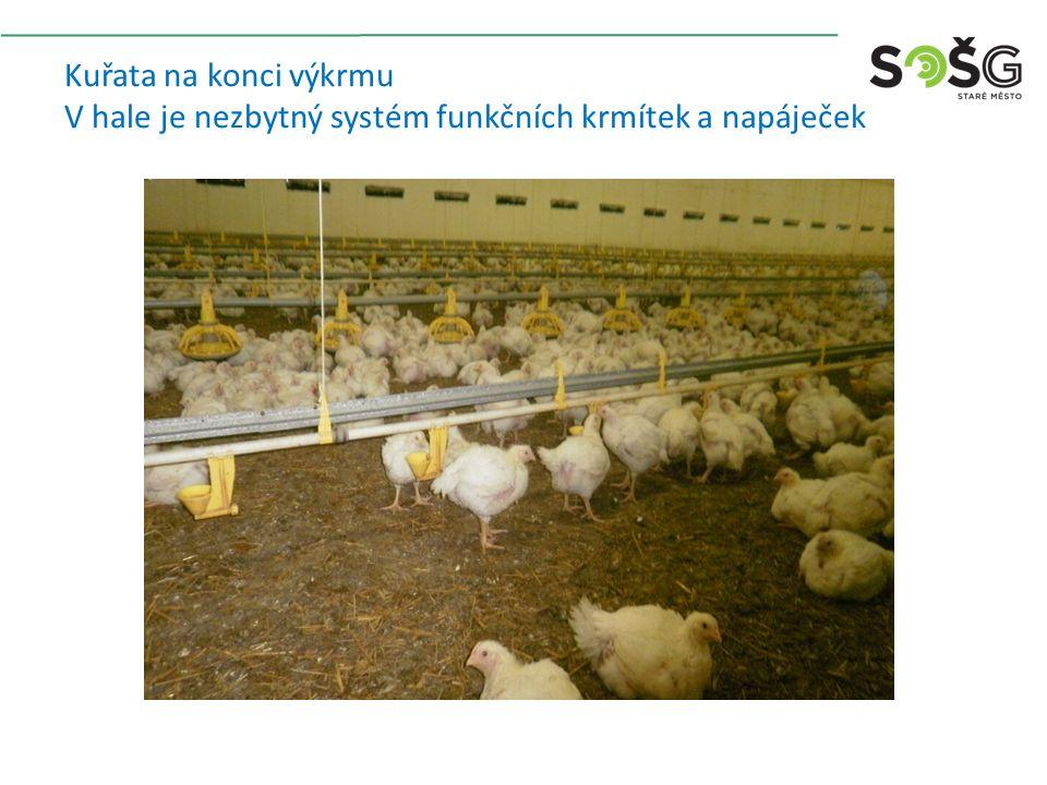 Kuřata na konci výkrmu V hale je nezbytný systém funkčních krmítek a napáječek