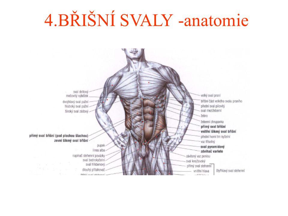 4.BŘIŠNÍ SVALY -anatomie