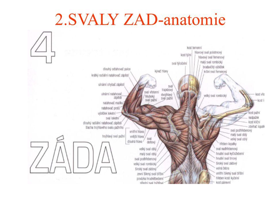 2.SVALY ZAD-anatomie