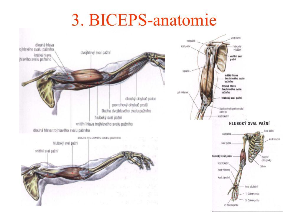 3. BICEPS-anatomie