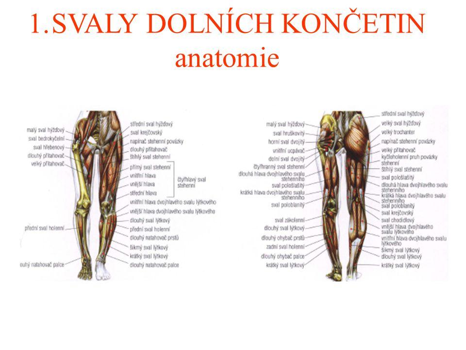 1.SVALY DOLNÍCH KONČETIN anatomie
