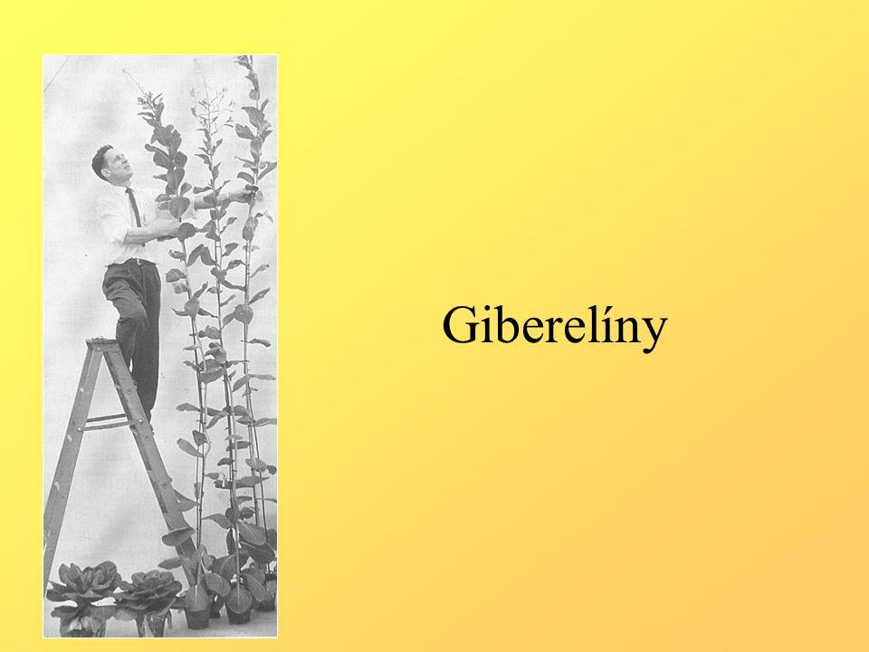 Struktura a biosyntéza giberelinů.