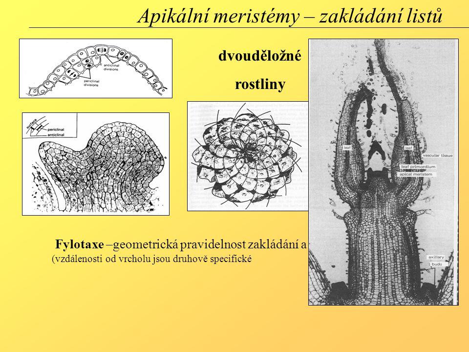 dvouděložné rostliny Apikální meristémy – zakládání listů Fylotaxe –geometrická pravidelnost zakládání a uspořádání listů na stonku (vzdálenosti od vrcholu jsou druhově specifické